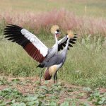 RDB warns poachers to allay looming extinction of Grey Crowned Cranes